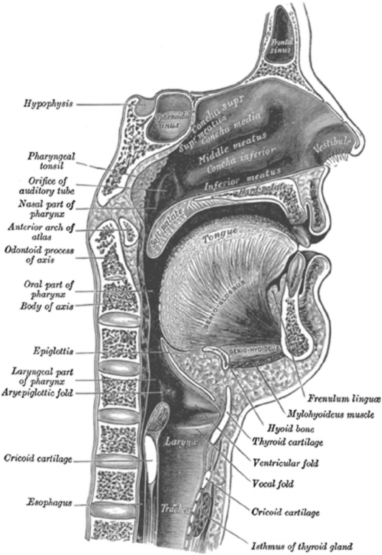 descriptive picture of the throat