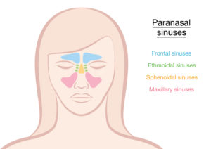 where the 4 sinuses are located on the face